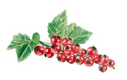Watercolor bunch of redcurrant isolated on white stock photos