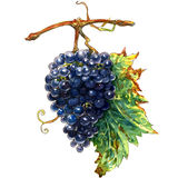 Watercolor bunch of ripe blue grapes Royalty Free Stock Photos