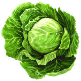 Watercolor cabbage isolated on white Royalty Free Stock Images