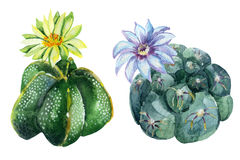 Watercolor Cactus Royalty Free Stock Images