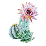 Watercolor cactus stock illustration