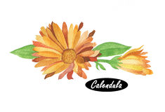 Watercolor calendula illustration Royalty Free Stock Photos
