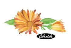 Watercolor calendula illustration Royalty Free Stock Photos