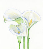 Watercolor Calla white flowers stock illustration