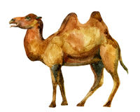Watercolor camel Royalty Free Stock Image