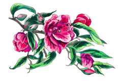 Watercolor Camellia flower Stock Photos