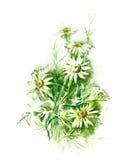 Watercolor -Camomiles-. Watercolors painting -Camomiles-, artist Marina Grau Stock Image
