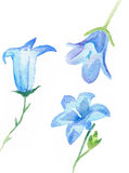 Watercolor campanula flowers isolated Royalty Free Stock Images