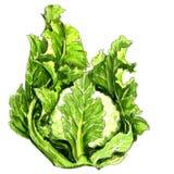 Watercolor cauliflower isolated stock illustration