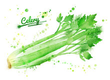 Watercolor celery. Hand drawn watercolor illustration of celery with paint splashes Stock Image