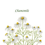 Watercolor chamomile card of flowers and leaves on a white background. Illustration for design of health care products, natural cosmetics, homeopathy, herbal Stock Photos