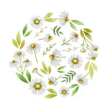 Watercolor chamomile round card of flowers and leaves isolated on white background. Illustration for design of health care products, natural cosmetics Royalty Free Stock Photography