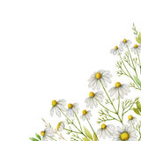 Watercolor chamomile square card of flowers and leaves on a white background. Illustration for design of health care products, natural cosmetics, homeopathy Stock Images