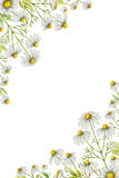 Watercolor chamomile vertical rectangular frame. Watercolor chamomile vertical rectangular frame of flowers and leaves isolated on white background vector illustration