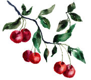 Watercolor cherry. Watercolor illustration of red cherry Stock Images