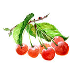 Watercolor cherry branch with cherries isolated Royalty Free Stock Images