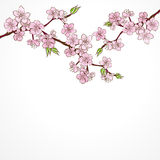 Watercolor cherry branch with flowers isolated on Stock Photos