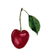 Watercolor cherry with leaf. Hand drawn food illustration on white background. For design, textile and background. Realistic botan Royalty Free Stock Images