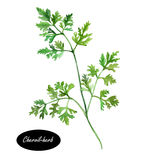 Watercolor chervil or French parsley herb. Delicate annual herb related to parsley. It is commonly used to season mild-flavoured dishes and is a constituent of Stock Image