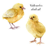 Watercolor chick set. Hand painted young chucken isolated on white background. Cute baby bird illustration for design. Stock Photography