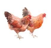 Watercolor Chicken, Cock, Rooster Bird Stock Image