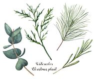 Watercolor Christmas plant. Hand painted rosemary, eucalyptus, cedar and fir branches isolated on white background. Floral botanical clip art for design or Royalty Free Stock Image