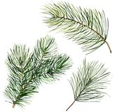 Watercolor Christmas tree branch. Hand painted floral traditional decor isolated on white background. Holiday print. Watercolor Christmas tree branch. Hand Stock Image