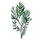 Watercolor Christmas tree branches. Hand painted illustration Stock Images