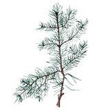 Watercolor Christmas tree branches. Hand painted illustration Royalty Free Stock Photography