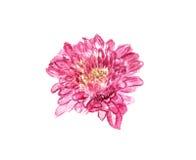 Watercolor chrysanthemum royalty free stock photos