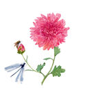 Watercolor chrysanthemum illustration. Watercolor chrysanthemum and dragonfly and bee botanicaln illustration stock image