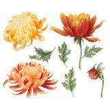 Watercolor chrysanthemum set stock images