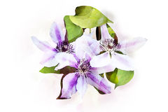 Watercolor Clematis flowers Royalty Free Stock Image
