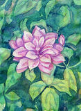 Watercolor Clematis Flowers Stock Photo