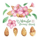 Watercolor clipart of flowering almonds nuts. hand painting illustration isolated