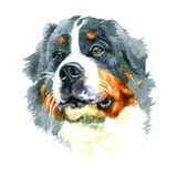 Watercolor closeup portrait of large Moscow Watchdog breed dog isolated on white background. Stock Photos