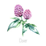 Watercolor clover herb. Stock Image