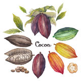 Watercolor cocoa fruit Stock Image