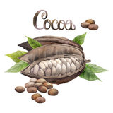 Watercolor cocoa fruit. Watercolor dried cocoa fruit isolated on white background. Hand drawn exotic cacao plants vector illustration