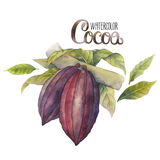 Watercolor cocoa fruit Royalty Free Stock Image