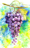Watercolor coloful illustration of fruit grapes. Watercolor illustration of fruit grapes vector illustration