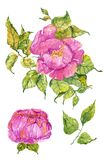 Watercolor color flowers: peony or rose. Bright and beautiful isolated over white Royalty Free Stock Photo