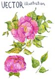 Watercolor color flowers: peony or rose. Bright and beautiful isolated over white Stock Images