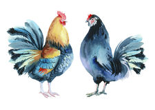 Watercolor colorful cocks. Watercolor painting. Colorful roosters on a white background Royalty Free Stock Image