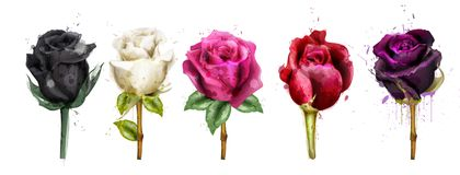 Watercolor colorful roses set collection Vector. Black rose, pink, red flowers. Beautiful detailed floral illustrations vector illustration
