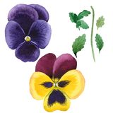 Watercolor colorful viola flower. Floral botanical flower. Isolated illustration element. Aquarelle wildflower for background, texture, wrapper pattern, frame royalty free stock photos