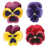 Watercolor colorful viola flower. Floral botanical flower. Isolated illustration element. Aquarelle wildflower for background, texture, wrapper pattern, frame vector illustration