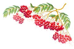 Watercolor composition with rowanberry branch Stock Photography