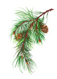 Watercolor coniferous branch pine cones. Watercolor coniferous branch with pine cones vector illustration