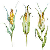 Watercolor corn Stock Images